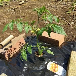 自粛中に家庭菜園 ミニトマト