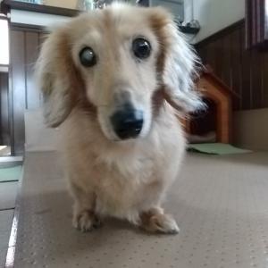 おじいちゃん犬くろすけ 17歳と9か月になりました