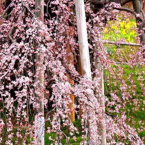 滝桜 7分咲き