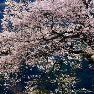 牛代のみずめ桜