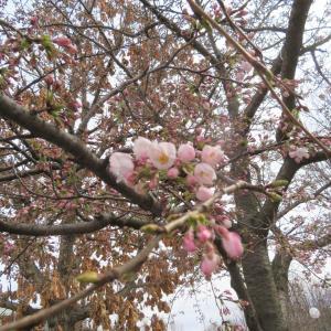 緑の広場の桜