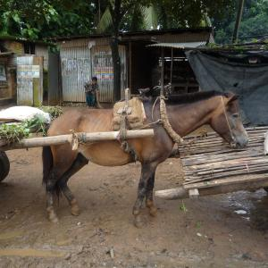 主が来るのを大人しく待つ荷台を背負った馬たち【バングラデシュ】