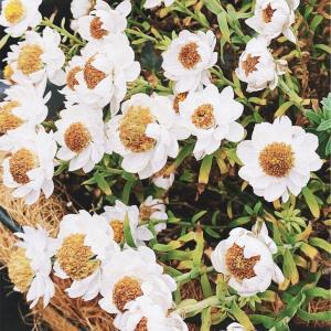 花かんざしのハンギング