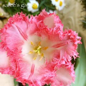 チューリップの花柄摘み