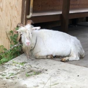 イタビ近所であの!ヤギの「ばす君」?に出会う。板橋美術館は動物との出会いも多い!?