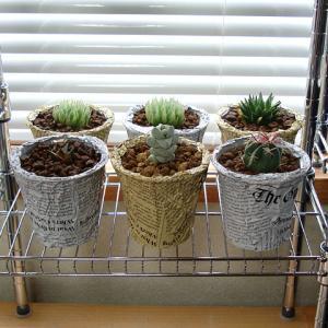 プリン容器に多肉植物を植える