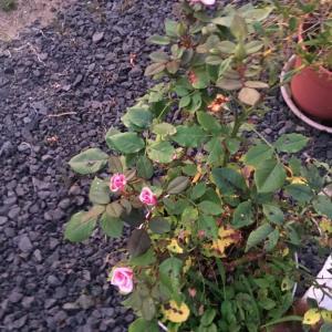 バラが咲いた その2