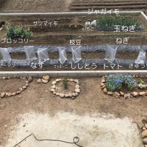 【畑で家庭菜園1年目】サツマイモを植えた。