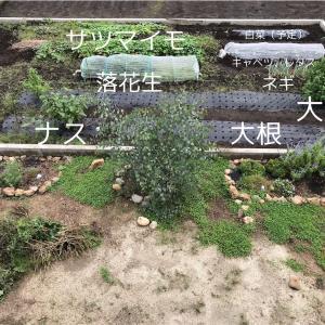 白菜植え、春菊種まき、玉ねぎ畝つくり【畑で家庭菜園2年目】