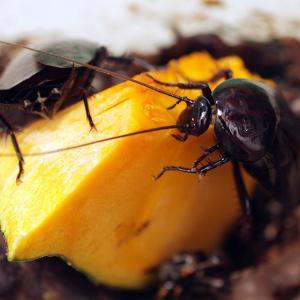 ウルシゴキブリ