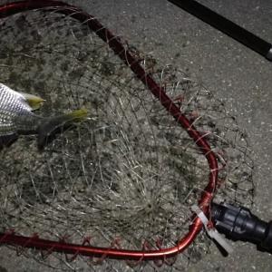 【釣り】南港へち釣行 (2020/06/06 南港ヘチ釣り キビレチヌ(32cm,31cm~)ガシラ 釣果有り)
