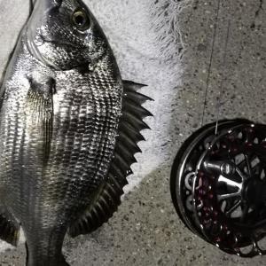 【釣り】南港へち釣行 (2020/08/19 南港ヘチ釣り  キビレチヌ 43㎝,39㎝ 真チヌ 釣果有り)