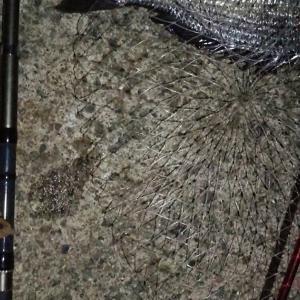 【釣り】南港へち釣行 (2020/08/22 南港ヘチ釣り キビレチヌ 43cm,42cm~ ガシラ 釣果有り)