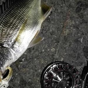 【釣り】南港へち釣行 (2020/08/23 南港ヘチ釣り キビレチヌ 44cm,36cm,33㎝~ 真チヌ 32㎝ 釣果有り)