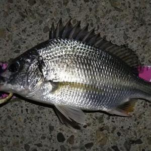 【釣り】南港へち釣行 (2020/08/27 南港ヘチ釣り 真チヌ 49㎝、キビレチヌ 38cm~ ガシラ 釣果有り)