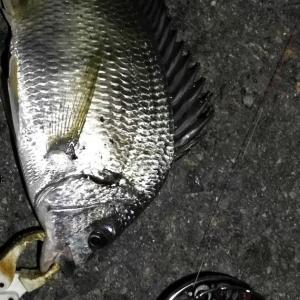 【釣り】南港へち釣行 (2020/08/29 南港ヘチ釣り 真チヌ 47.5㎝、キビレチヌ 40cm~ 釣果有り)