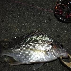【釣り】南港へち釣行 (2020/11/29 ガシラ好調!南港ヘチ釣り  ガシラ24㎝~ キビレチヌ 釣果有り)