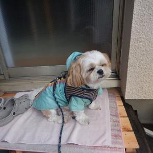 終日の本降り雨。びしょ濡れになりながらやっとウンチをしてくれる。