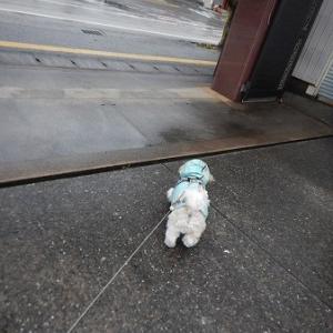 雨上がりの散歩。ソラ、ちょっと嫌がる?
