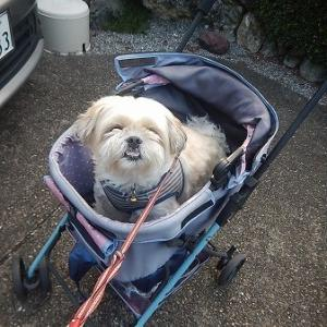 お疲れ気味なのでカートで散歩。