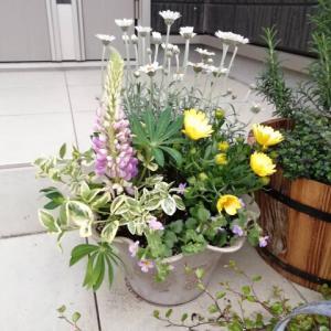 春の寄せ植え実例〜ラナンキュラス&ローダンセマム