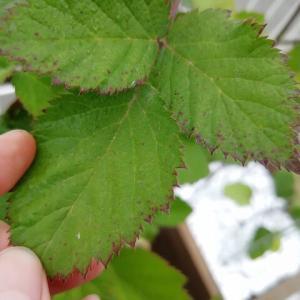 病気??ブラックベリーの葉に赤い斑点が…!原因と対処の仕方