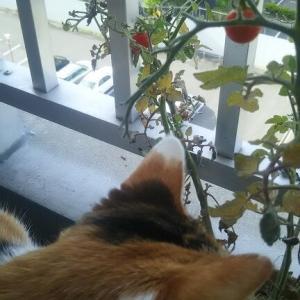 トマトが実りました。猫草も。