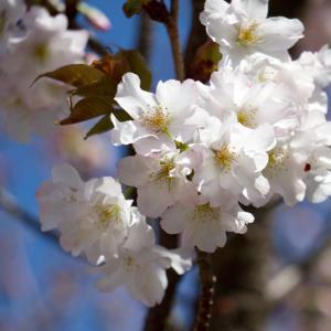 夙川公園の桜(1)苦楽園口