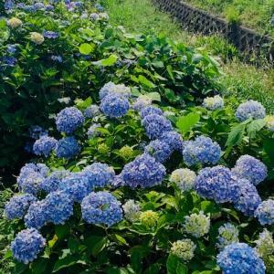 地元の紫陽花が満開