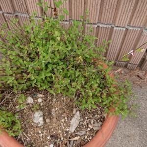 チェリーセージ ホットリップスが咲き始めました!