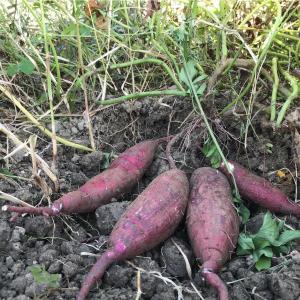 【畑】みんなで芋掘り♫ 〜分かち合うって嬉しい!〜