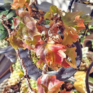 ラン小屋にての植物の越冬で押しくらまんじゅう押されて枯れるなよ!