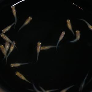 ヤフオクでアルビノ吹雪の卵を落札して約3ヶ月