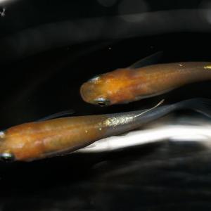 あけぼの紅白ラメ体外光を撮影