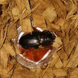 2021年7月の昆虫採集:夜の散歩で見つけたノコギリクワガタ?