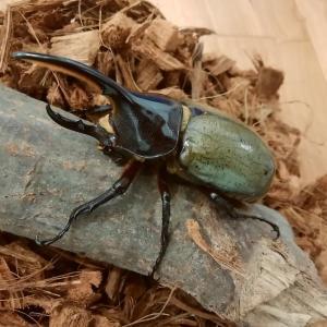 ヘラクレスオオカブトを幼虫から飼育して気づいた注意点