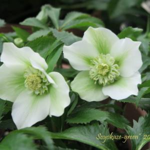 クリスマスローズ ホワイトセミダブルがゆっくり咲き進んでいます*