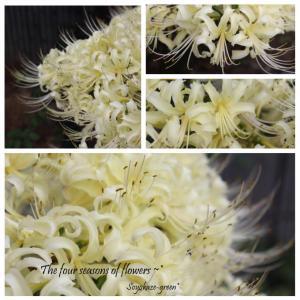 白いヒガンバナ*鵯花~*