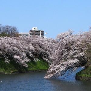 にしさんの花日記 皇居千鳥ヶ淵の桜