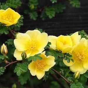 にしさんの花日記 京成バラ園 その2 つるバラ 桜 お花畑