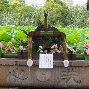 にしさんの花日記 東京上野 不忍池 蓮が満開です