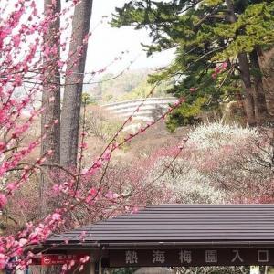 にしさんの花日記 熱海梅園 梅