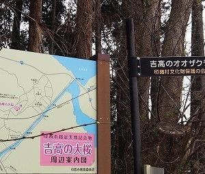 にしさんの花日記 吉高の大桜