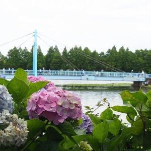 にしさんの花日記 花菖蒲 東京 水元公園