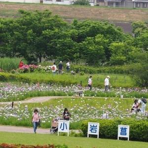 にしさんの花日記 東京小岩菖蒲園の花菖蒲が略満開になりました