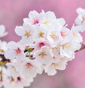 桜はピンクでなくて白だと色弱の私は大人になっても思っていた
