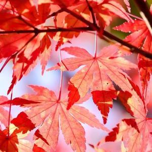 色弱で紅葉の美しさが分からない。モミジの赤が目立たない。