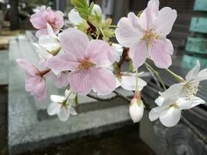 桜も人も、十人十色