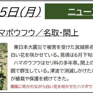 6/15【ハマボウフウ】閖上の浜で白い花咲かせる(名取)