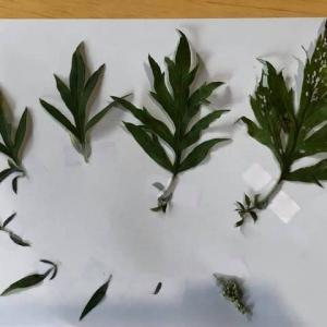 ヨモギの観察&蒸留&染色実験